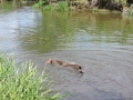 Faith water retrieve at her first KC GWT