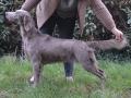 Rhea at 4 years old pre Crufts 2016